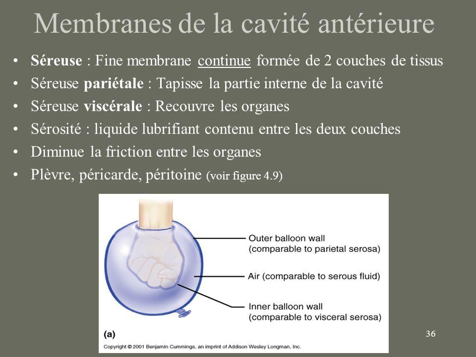 36 Membranes de la cavité antérieure Séreuse : Fine membrane continue formée de 2 couches de tissus Séreuse pariétale : Tapisse la partie interne de l