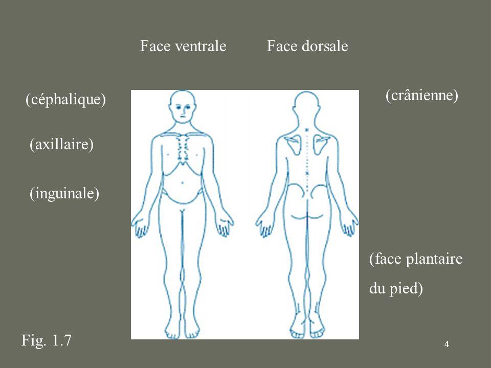 4 Face ventraleFace dorsale (face plantaire du pied) (axillaire) (inguinale) (céphalique) Fig. 1.7 (crânienne)