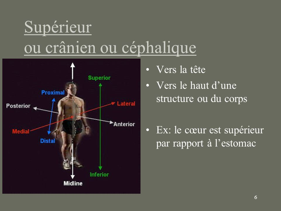7 Inférieur ou caudal À lopposé de la tête Vers le bas dune structure ou du corps Ex : lapex du cœur est inférieure par rapport au tronc pulmonaire