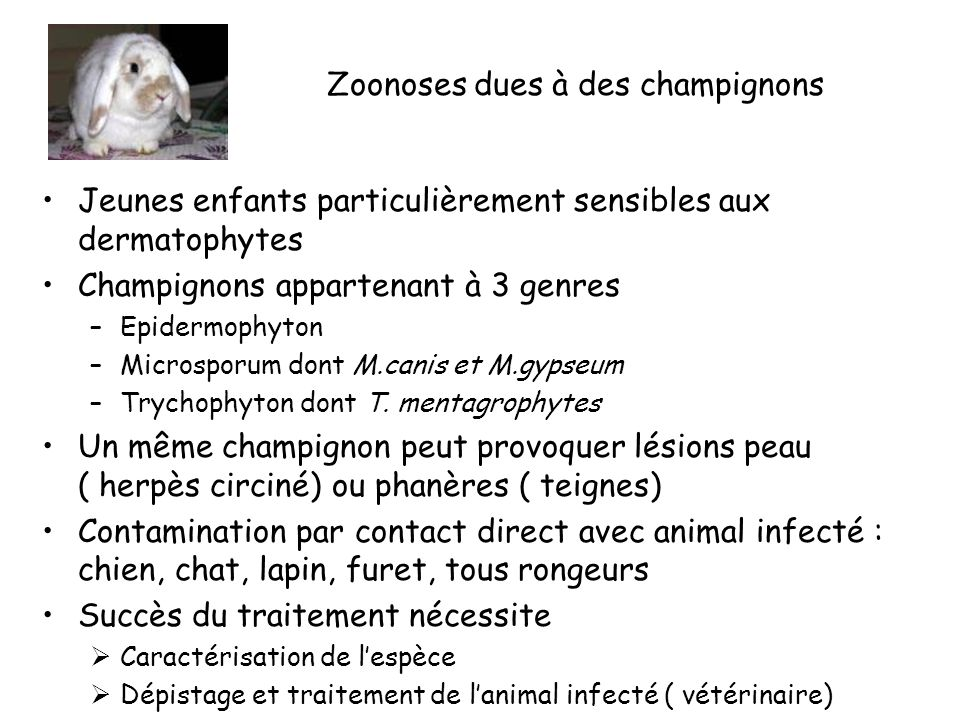 Zoonoses dues à des champignons Jeunes enfants particulièrement sensibles aux dermatophytes Champignons appartenant à 3 genres –Epidermophyton –Microsporum dont M.canis et M.gypseum –Trychophyton dont T.