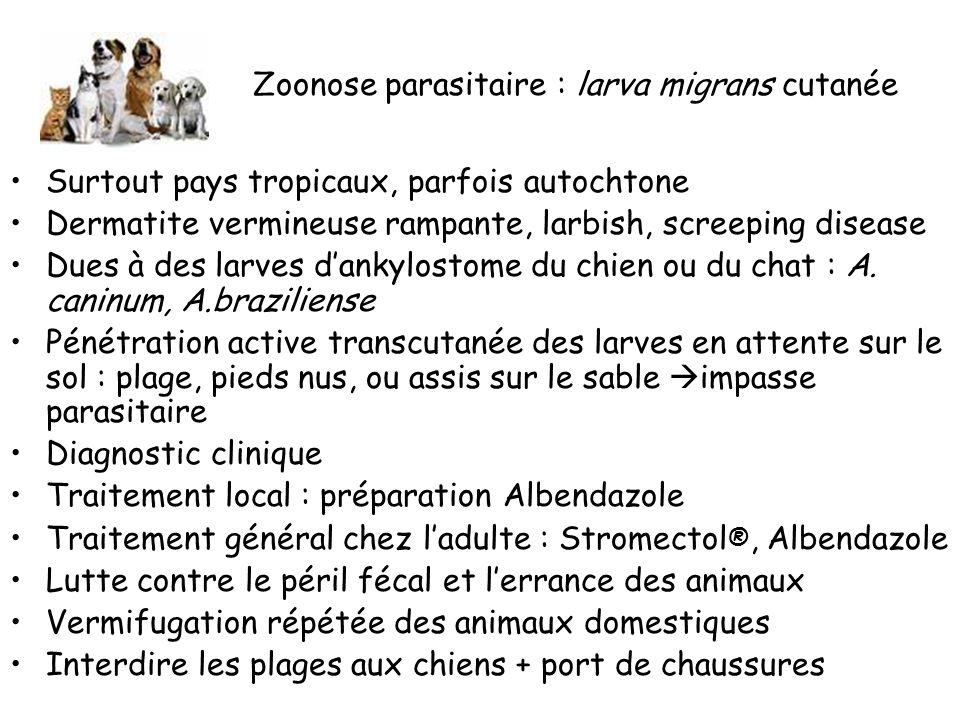 Zoonose parasitaire : larva migrans cutanée Surtout pays tropicaux, parfois autochtone Dermatite vermineuse rampante, larbish, screeping disease Dues à des larves dankylostome du chien ou du chat : A.