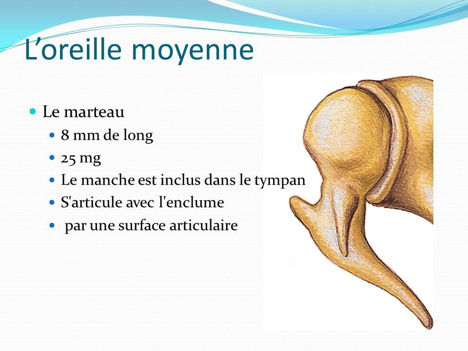 Loreille moyenne Le marteau 8 mm de long 25 mg Le manche est inclus dans le tympan S'articule avec l'enclume par une surface articulaire