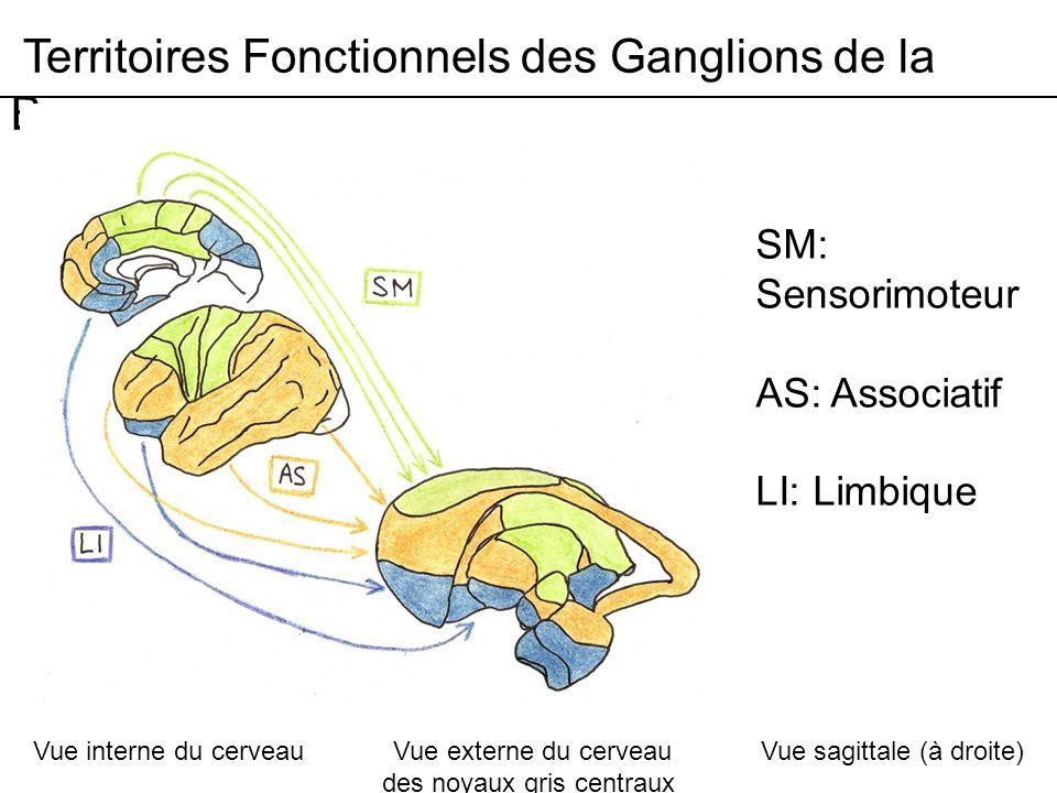 Territoires Fonctionnels des Ganglions de la Base SM: Sensorimoteur AS: Associatif LI: Limbique Vue interne du cerveau Vue externe du cerveau Vue sagittale (à droite) des noyaux gris centraux