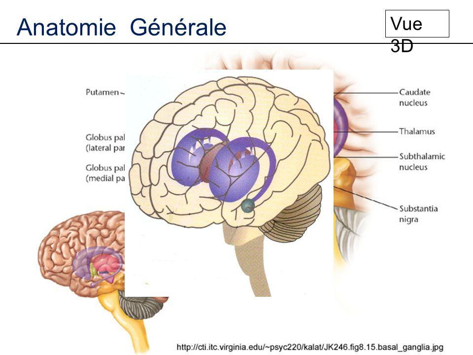 Striatum Anatomie Générale Structures dentrées Structures cibles Coupe coronale Compacte Réticulée Globus Pallidus Externe Interne