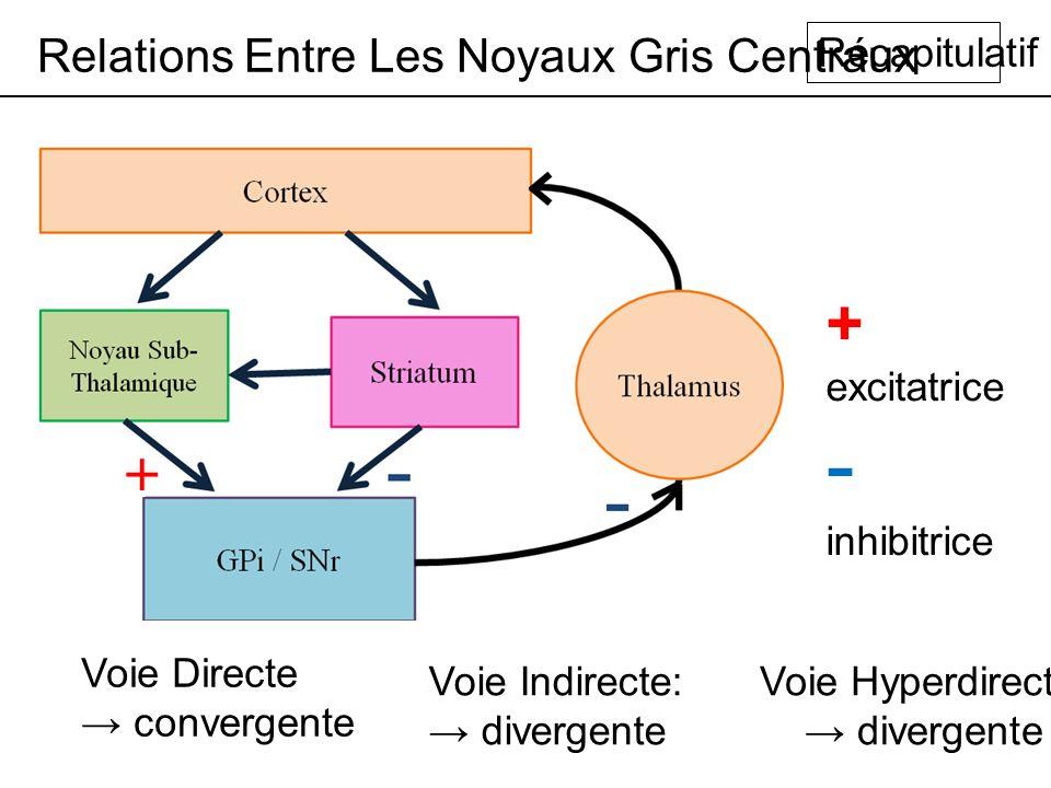 Relations Entre Les Noyaux Gris Centraux Récapitulatif + excitatrice - inhibitrice Voie Directe convergente Voie Indirecte: divergente Voie Hyperdirecte: divergente