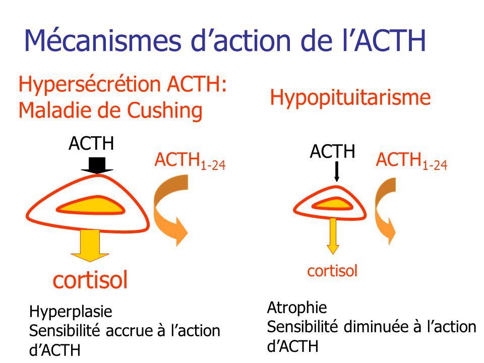Mécanismes daction de lACTH Hypersécrétion ACTH: Maladie de Cushing Hypopituitarisme ACTH 1-24 cortisol ACTH 1-24 cortisol ACTH Hyperplasie Sensibilit