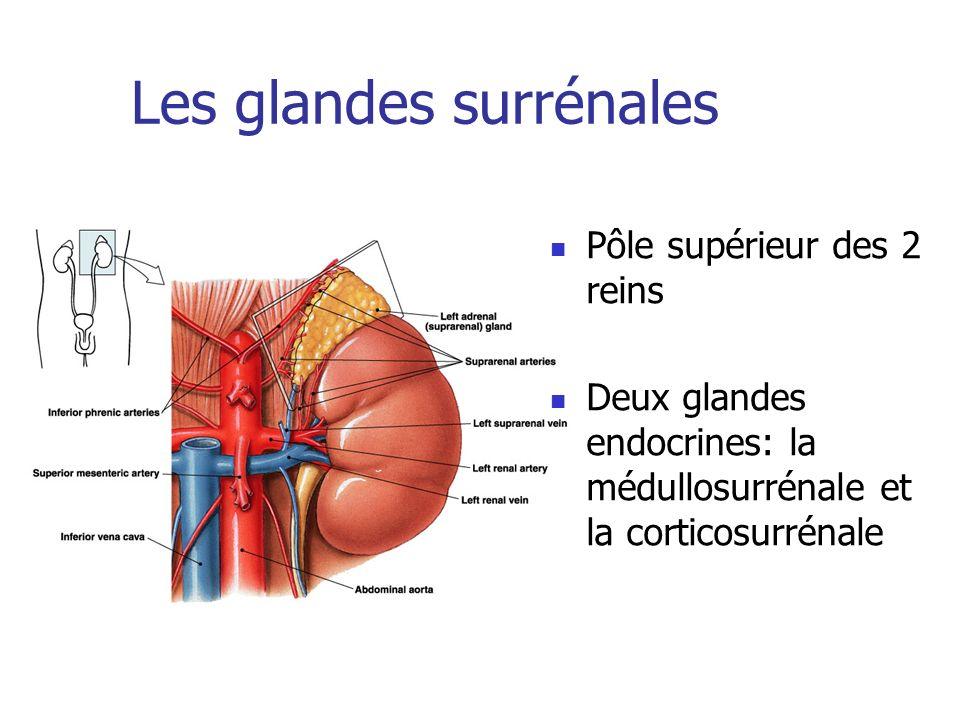 Les glandes surrénales Pôle supérieur des 2 reins Deux glandes endocrines: la médullosurrénale et la corticosurrénale