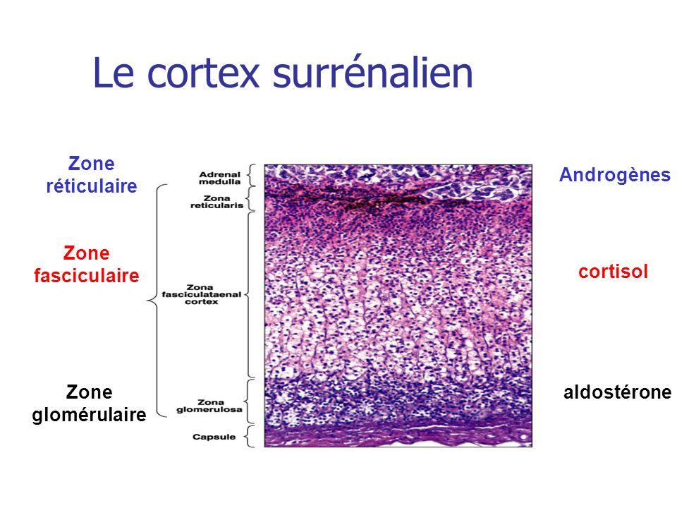 Le cortex surrénalien aldostérone cortisol Zone glomérulaire Zone fasciculaire Zone réticulaire Androgènes