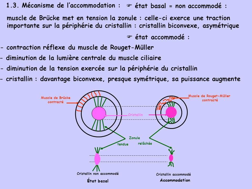 1.3. Mécanisme de laccommodation : muscle de Brücke met en tension la zonule : celle-ci exerce une traction importante sur la périphérie du cristallin
