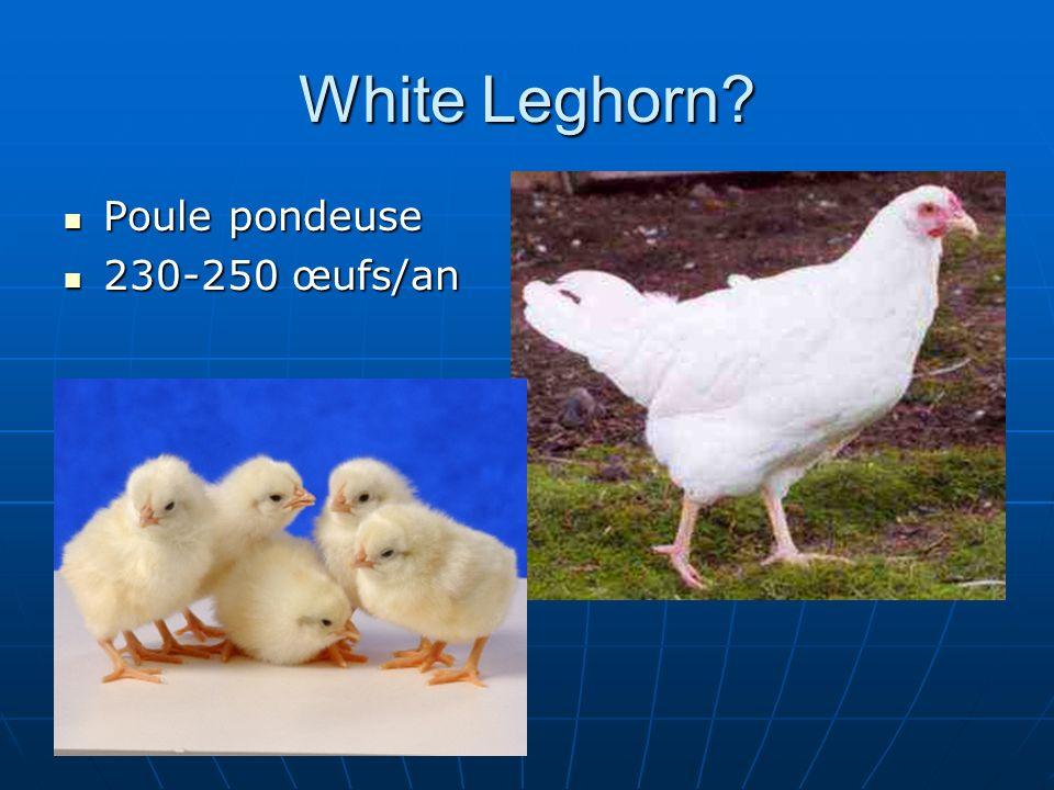 White Leghorn? Poule pondeuse Poule pondeuse 230-250 œufs/an 230-250 œufs/an