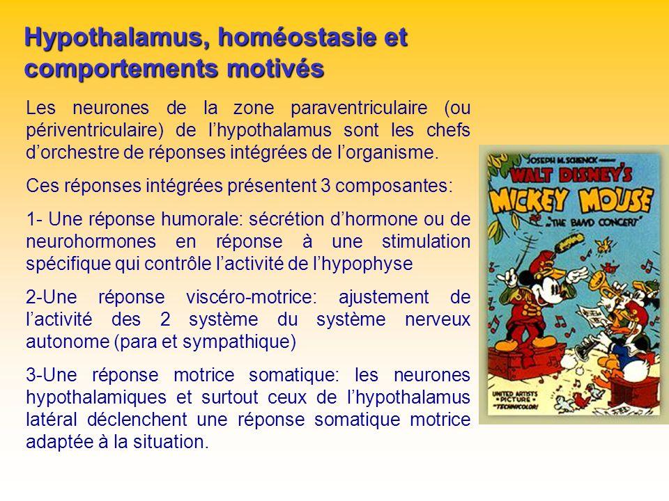 Hypothalamus, homéostasie et comportements motivés Les neurones de la zone paraventriculaire (ou périventriculaire) de lhypothalamus sont les chefs do