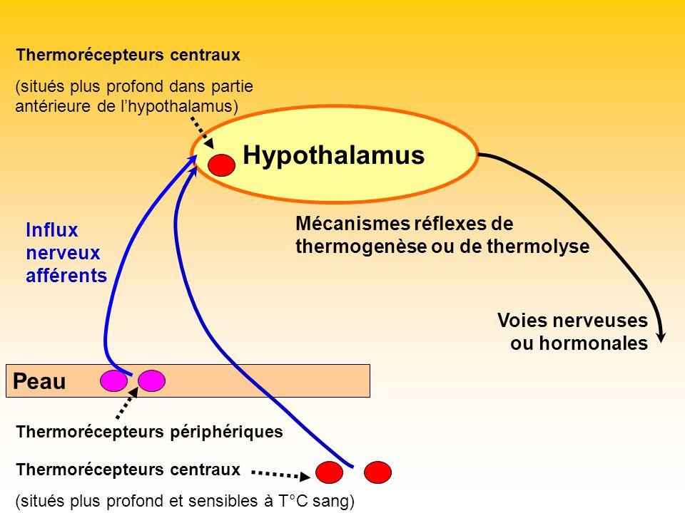 Hypothalamus Peau Thermorécepteurs périphériques Thermorécepteurs centraux (situés plus profond et sensibles à T°C sang) Influx nerveux afférents Ther