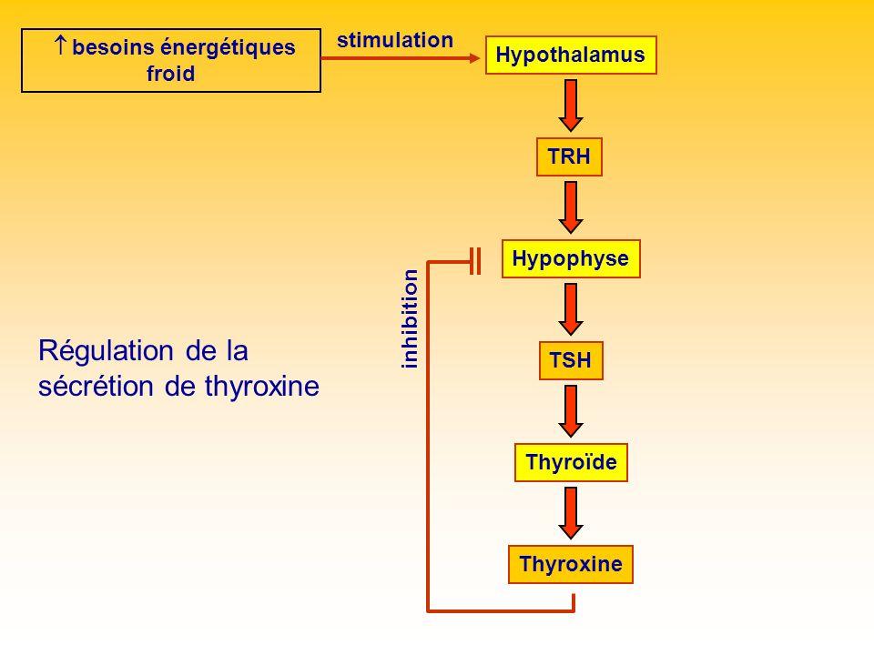 Hypothalamus TRH ThyroïdeHypophyse TSH Thyroxine inhibition besoins énergétiques froid stimulation Régulation de la sécrétion de thyroxine