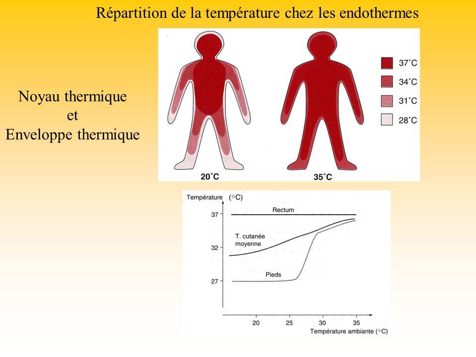 Répartition de la température chez les endothermes Noyau thermique et Enveloppe thermique