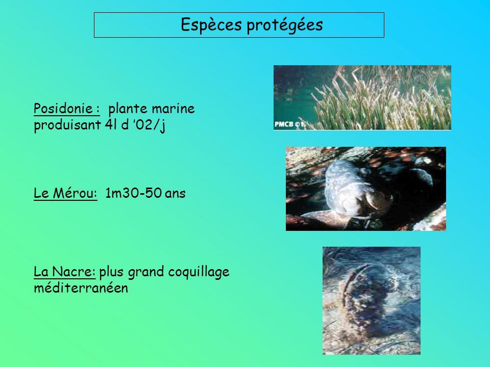 Espèces protégées Posidonie : plante marine produisant 4l d 02/j Le Mérou: 1m30-50 ans La Nacre: plus grand coquillage méditerranéen
