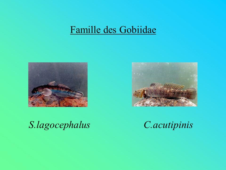 Famille des Gobiidae S.lagocephalusC.acutipinis
