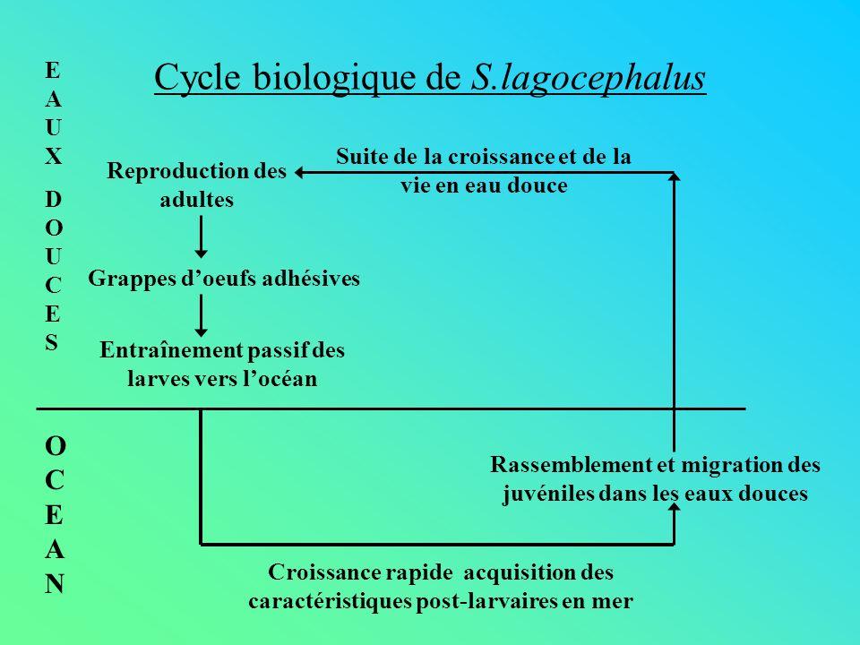 Cycle biologique de S.lagocephalus EAUXDOUCESEAUXDOUCES OCEANOCEAN Reproduction des adultes Grappes doeufs adhésives Entraînement passif des larves ve