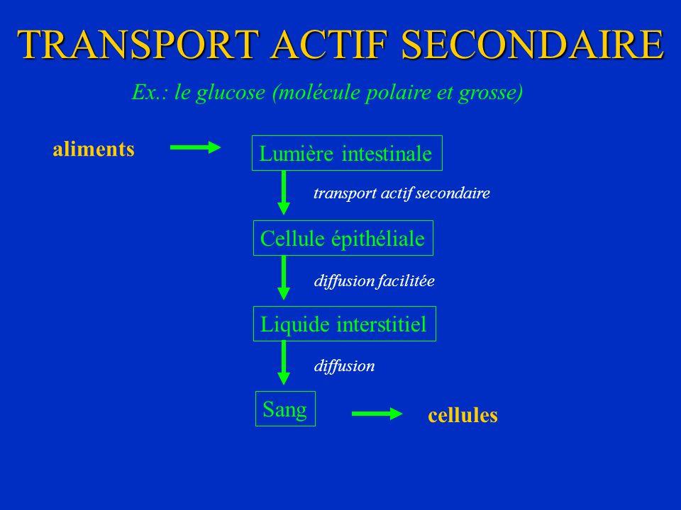 TRANSPORT ACTIF SECONDAIRE Ex.: le glucose (molécule polaire et grosse) Lumière intestinale Cellule épithéliale transport actif secondaire Liquide int