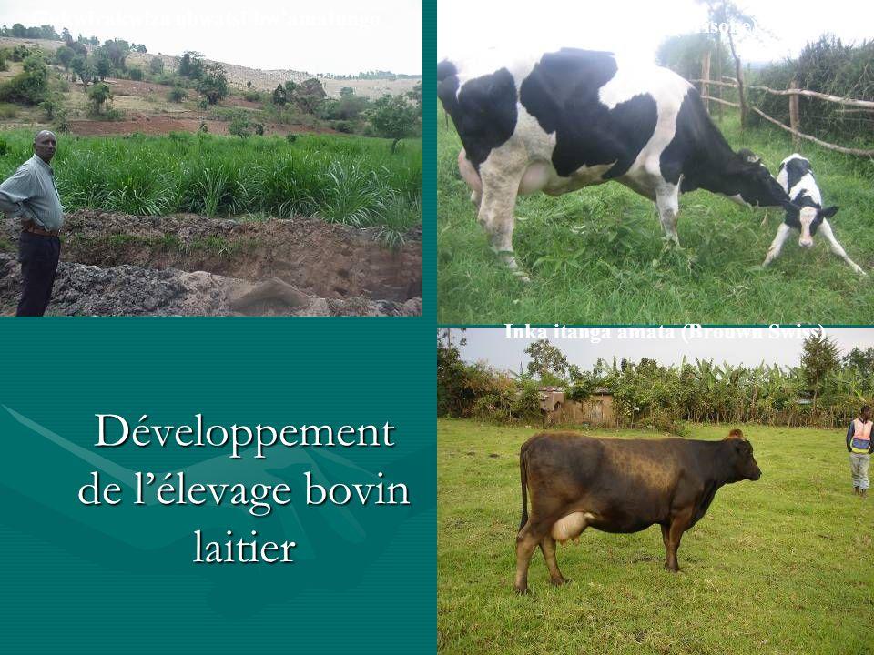 Développement de lélevage bovin laitier Inka itanga amata (Brouwn Swiss) Inka itanga amata (Frisone) Gukwirakwiza ubwatsi bwamatungo