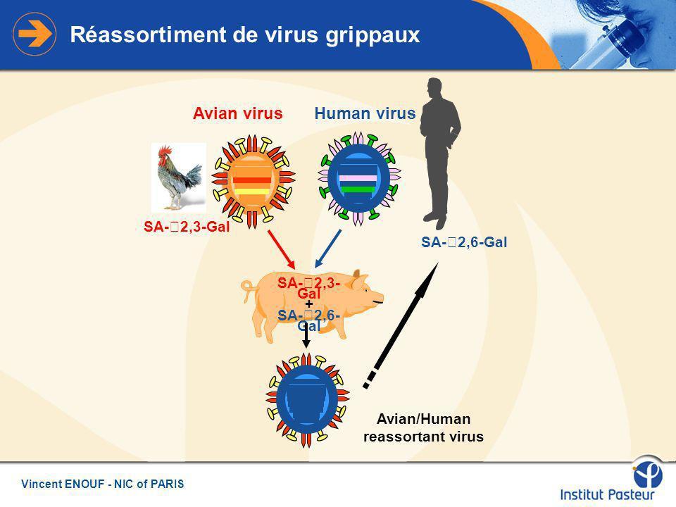 Vincent ENOUF - NIC of PARIS Réassortiment de virus grippaux Avian virusHuman virus SA- 2,3- Gal + SA- 2,6- Gal SA- 2,3-Gal SA- 2,6-Gal Avian/Human reassortant virus