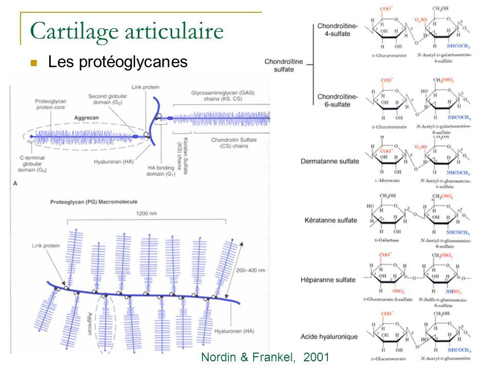 Cartilage articulaire Les protéoglycanes Nordin & Frankel, 2001