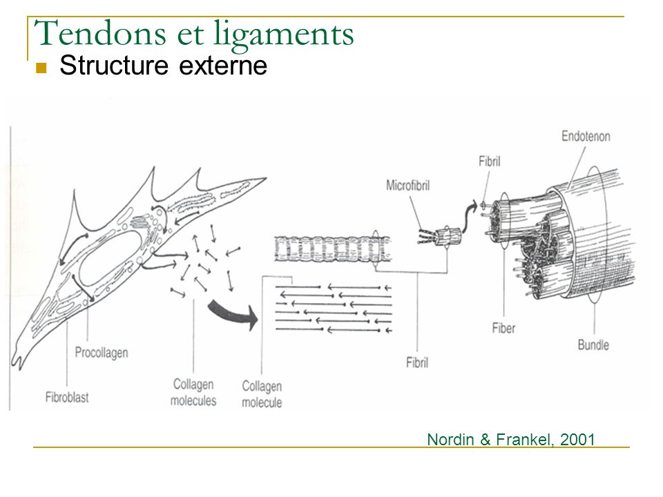 Tendons et ligaments Structure externe Nordin & Frankel, 2001