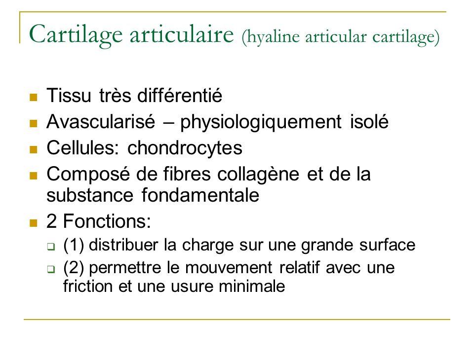 Cartilage articulaire (hyaline articular cartilage) Tissu très différentié Avascularisé – physiologiquement isolé Cellules: chondrocytes Composé de fi