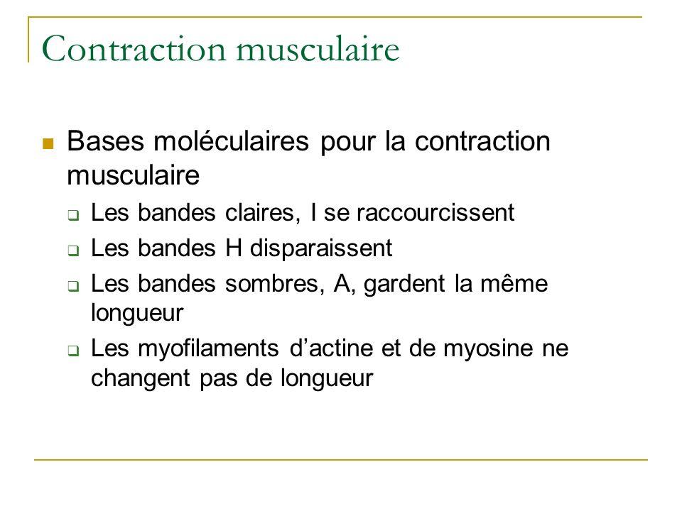 Contraction musculaire Bases moléculaires pour la contraction musculaire Les bandes claires, I se raccourcissent Les bandes H disparaissent Les bandes