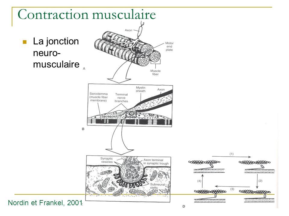 Contraction musculaire La jonction neuro- musculaire Nordin et Frankel, 2001