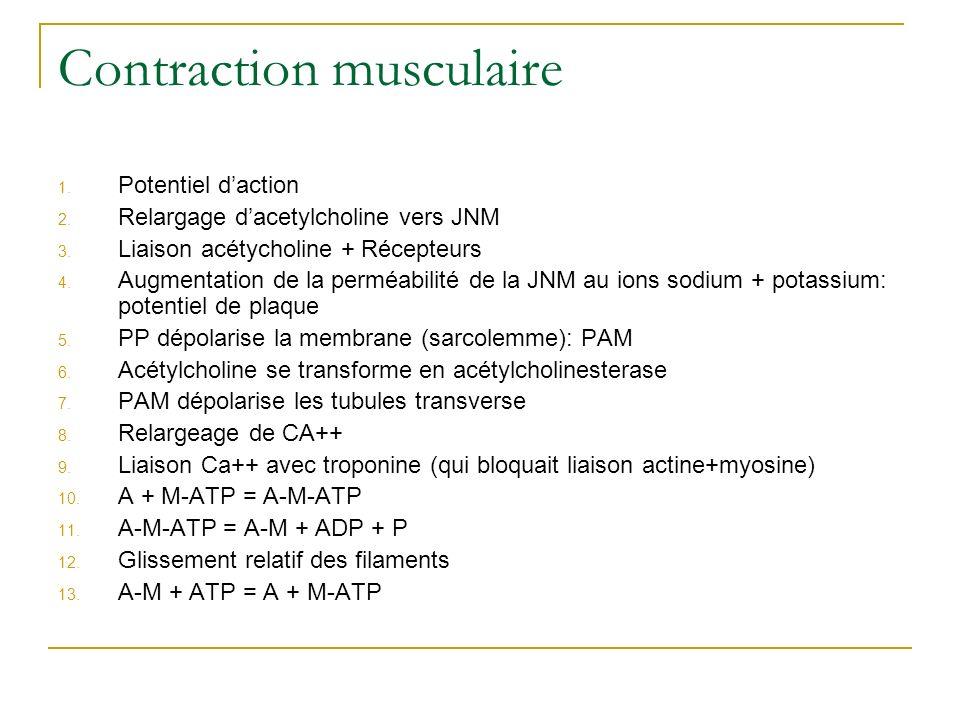 Contraction musculaire 1. Potentiel daction 2. Relargage dacetylcholine vers JNM 3. Liaison acétycholine + Récepteurs 4. Augmentation de la perméabili