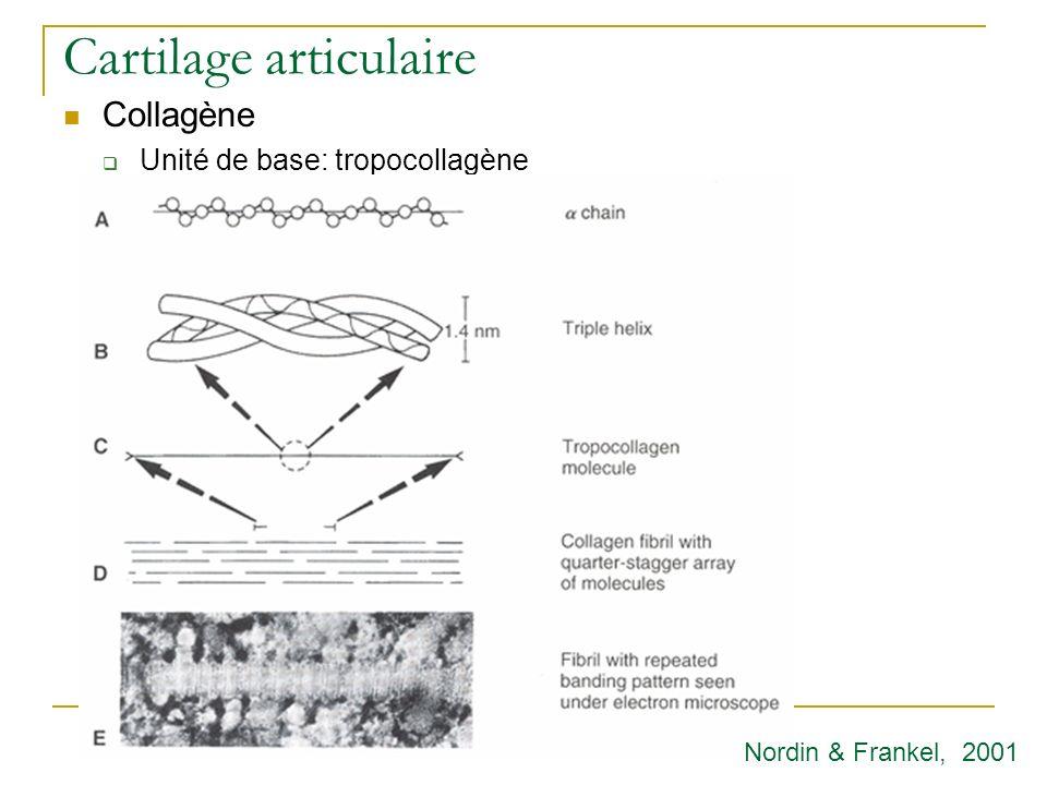 Cartilage articulaire Collagène Unité de base: tropocollagène Nordin & Frankel, 2001