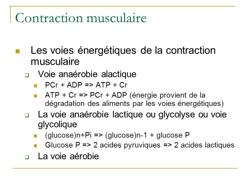Contraction musculaire Les voies énergétiques de la contraction musculaire Voie anaérobie alactique PCr + ADP => ATP + Cr ATP + Cr => PCr + ADP (énerg