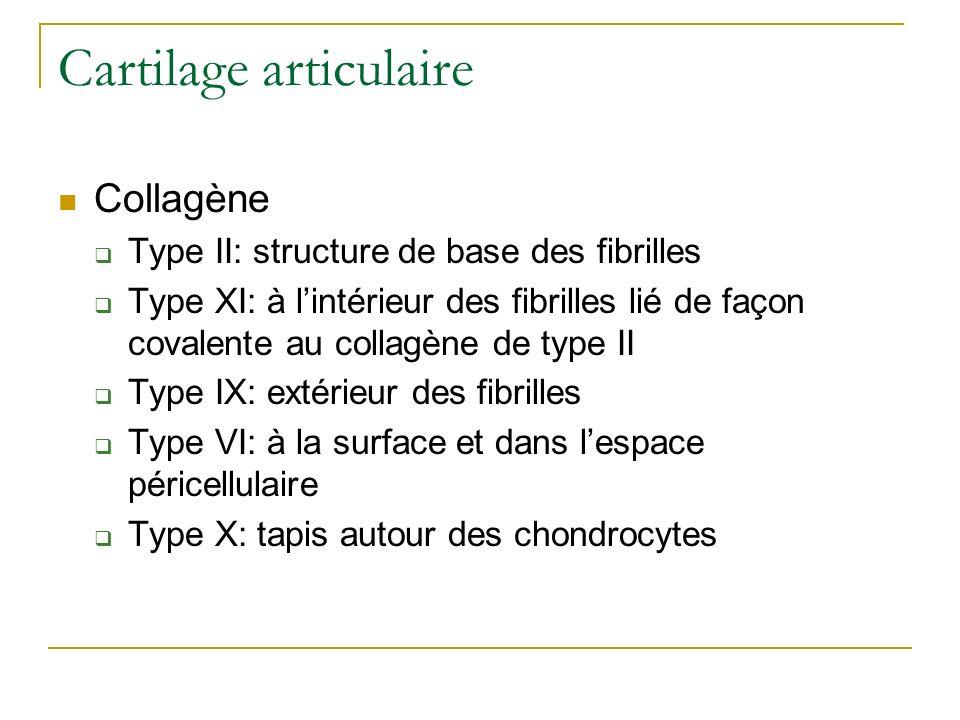Cartilage articulaire Collagène Type II: structure de base des fibrilles Type XI: à lintérieur des fibrilles lié de façon covalente au collagène de ty