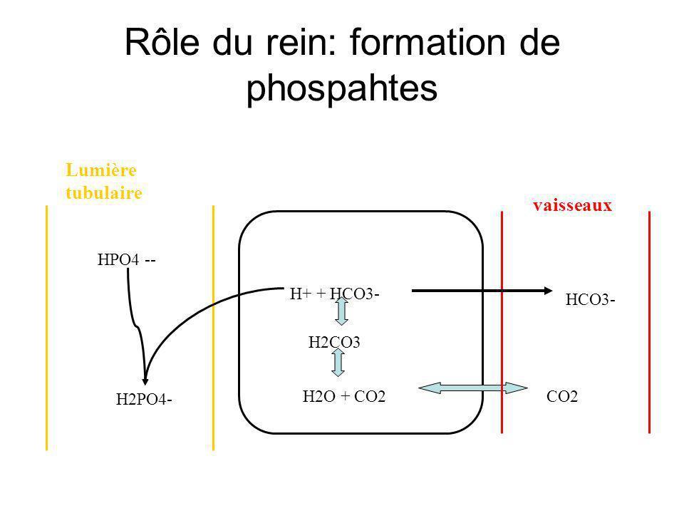 H+ + HCO3- H2CO3 H2O + CO2CO2 HCO3- HPO4 -- H2PO4- Lumière tubulaire vaisseaux Rôle du rein: formation de phospahtes