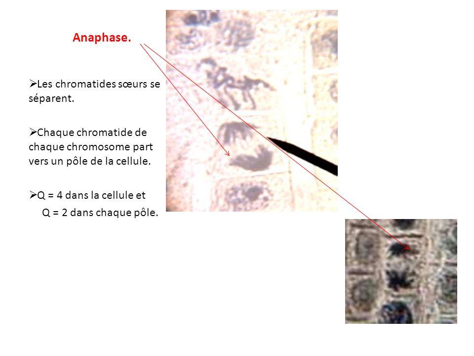 Anaphase. Les chromatides sœurs se séparent. Chaque chromatide de chaque chromosome part vers un pôle de la cellule. Q = 4 dans la cellule et Q = 2 da