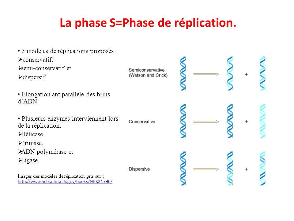 La phase S=Phase de réplication. 3 modèles de réplications proposés : conservatif, semi-conservatif et dispersif. Elongation antiparallèle des brins d