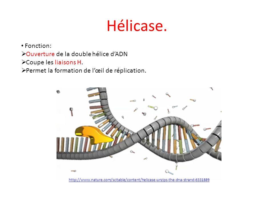 Hélicase. Fonction: Ouverture de la double hélice dADN Coupe les liaisons H. Permet la formation de lœil de réplication. http://www.nature.com/scitabl