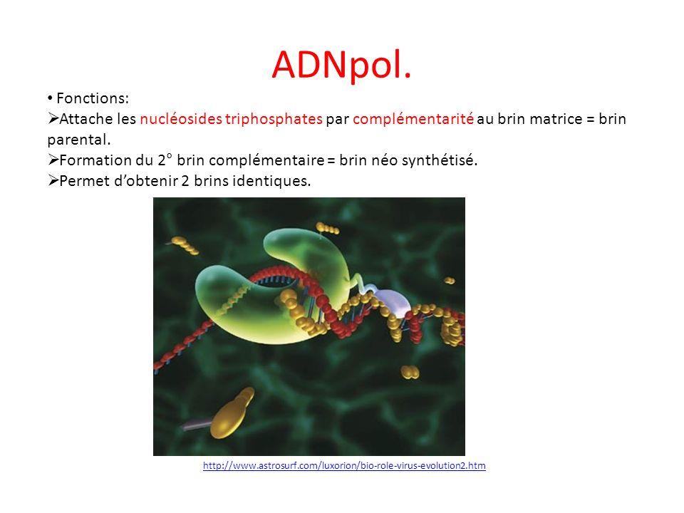 ADNpol. Fonctions: Attache les nucléosides triphosphates par complémentarité au brin matrice = brin parental. Formation du 2° brin complémentaire = br