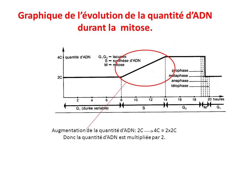 Graphique de lévolution de la quantité dADN durant la mitose. Augmentation de la quantité dADN: 2C 4C = 2x2C Donc la quantité dADN est multipliée par