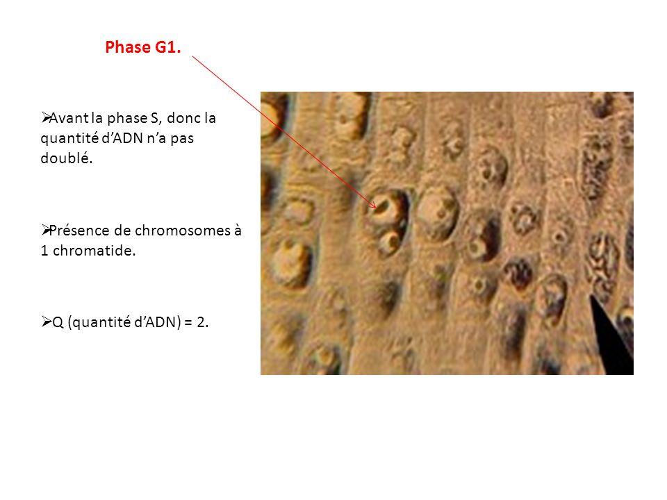 Phase G1. Avant la phase S, donc la quantité dADN na pas doublé. Présence de chromosomes à 1 chromatide. Q (quantité dADN) = 2.