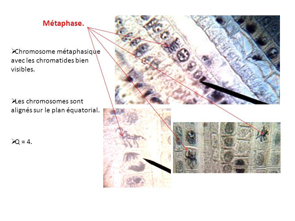 Métaphase. Chromosome métaphasique avec les chromatides bien visibles. Les chromosomes sont alignés sur le plan équatorial. Q = 4.