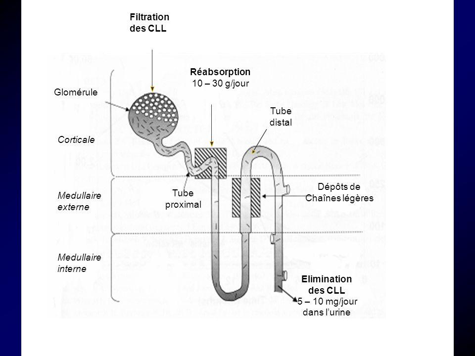 Medullaire externe Medullaire interne Corticale Glomérule Filtration des CLL Réabsorption 10 – 30 g/jour Tube proximal Tube distal Elimination des CLL 5 – 10 mg/jour dans lurine Dépôts de Chaînes légères