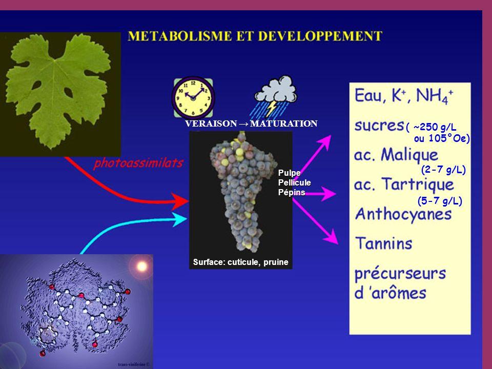 Surface: cuticule, pruine PulpePelliculePépins ( ~250 g/L ou 105°Oe) (2-7 g/L) VERAISON MATURATION (5-7 g/L)