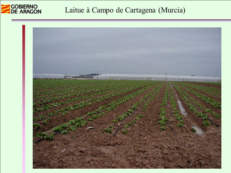 Laitue à Campo de Cartagena (Murcia)