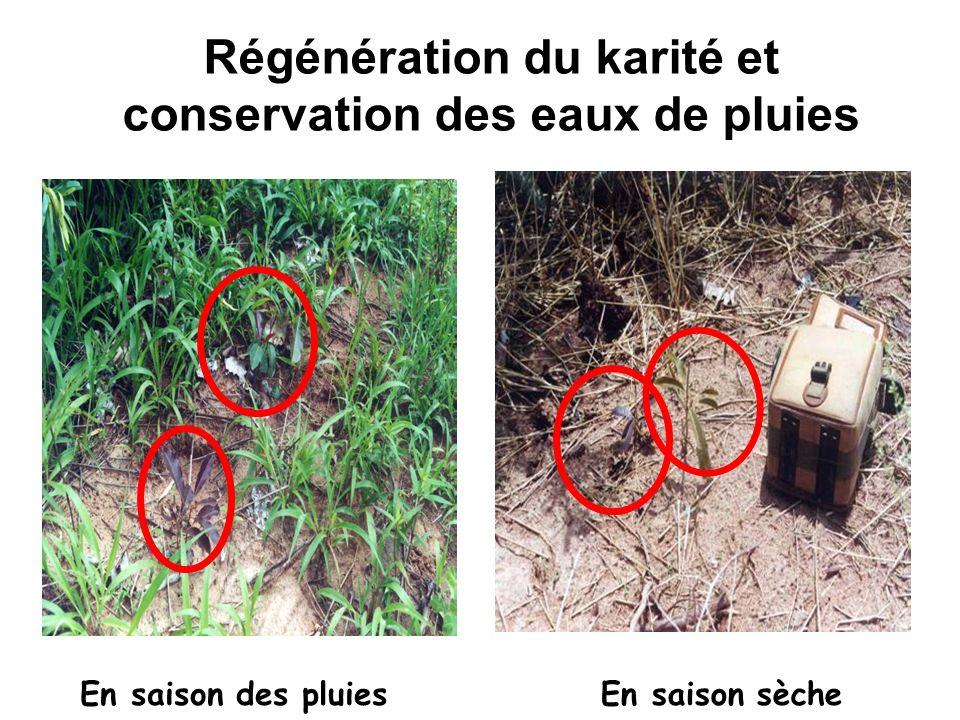 Régénération du karité et conservation des eaux de pluies En saison des pluiesEn saison sèche