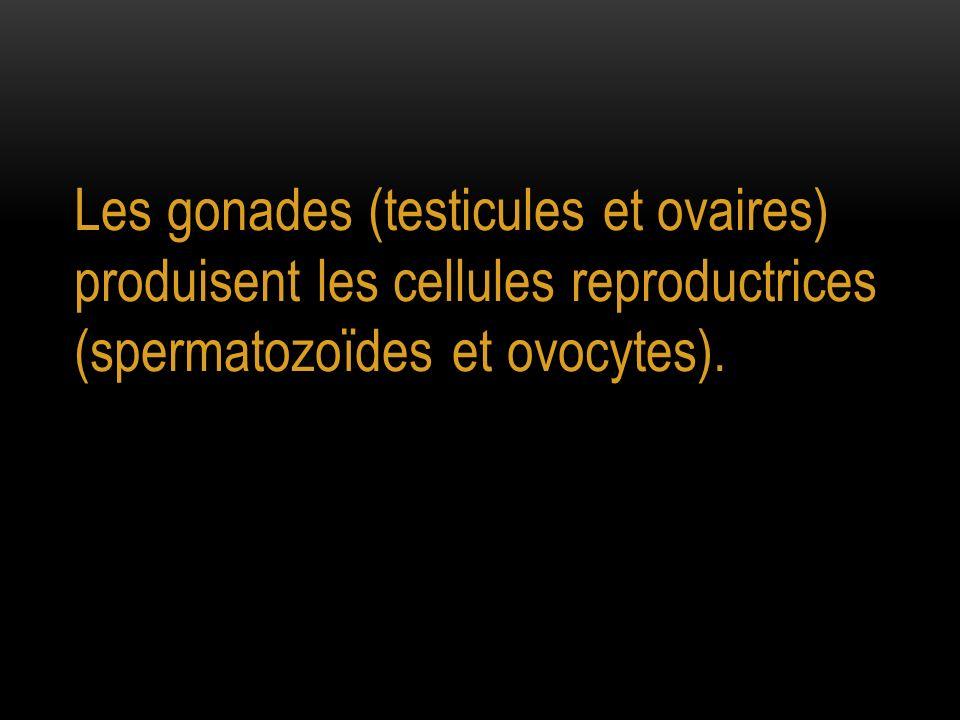 Les gonades (testicules et ovaires) produisent les cellules reproductrices (spermatozoïdes et ovocytes).