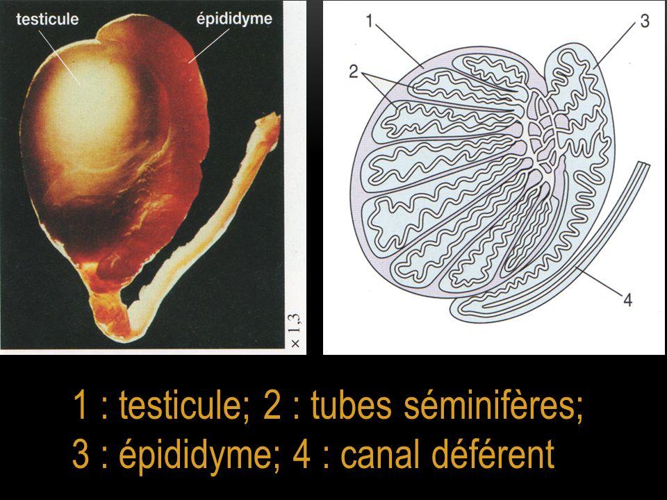 1 : testicule; 2 : tubes séminifères; 3 : épididyme; 4 : canal déférent
