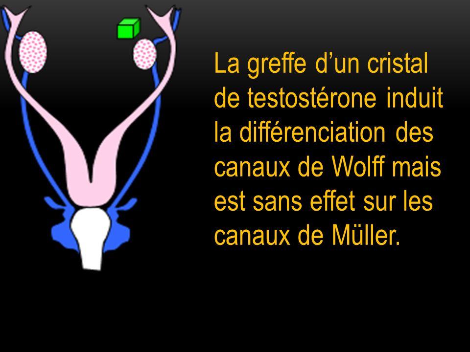 La greffe dun cristal de testostérone induit la différenciation des canaux de Wolff mais est sans effet sur les canaux de Müller.