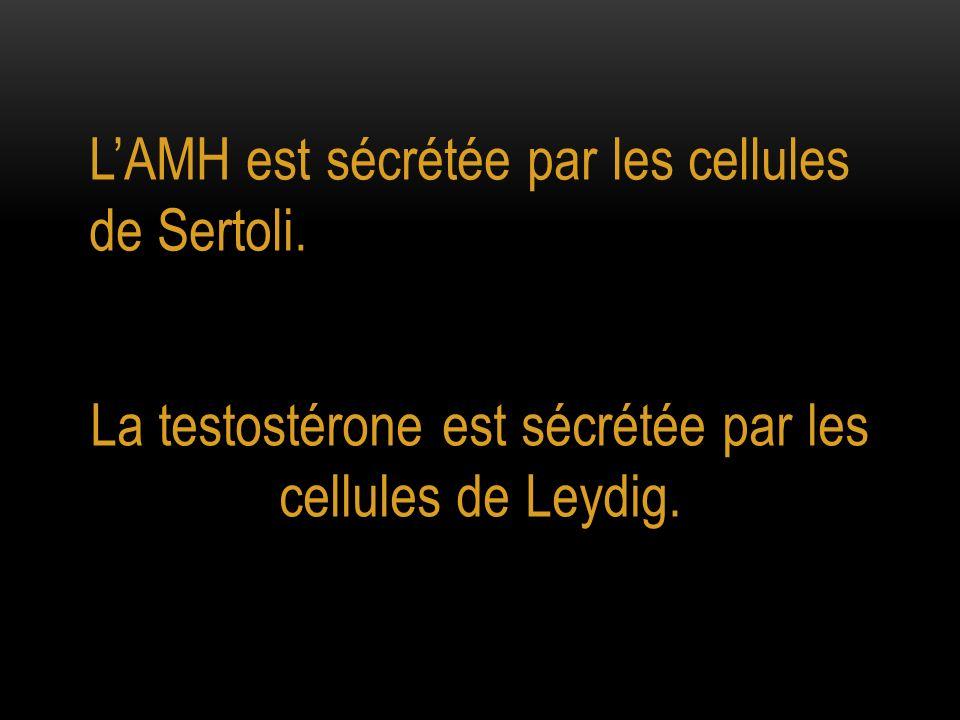 LAMH est sécrétée par les cellules de Sertoli. La testostérone est sécrétée par les cellules de Leydig.