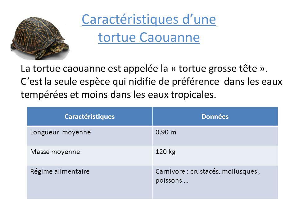 Caractéristiques dune tortue Caouanne La tortue caouanne est appelée la « tortue grosse tête ». Cest la seule espèce qui nidifie de préférence dans le